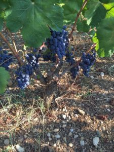 Weinstock mit Vlosh-Trauben