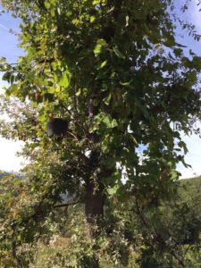 """Die verwilderte Weinsorte """"Puls"""" um einen Eichenbaum geschlungen, am Fusse des Bergs Tomorr"""